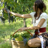 tour-of-cellars-with-grape-harvest-italy